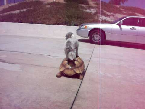 Dog Rides Turtle