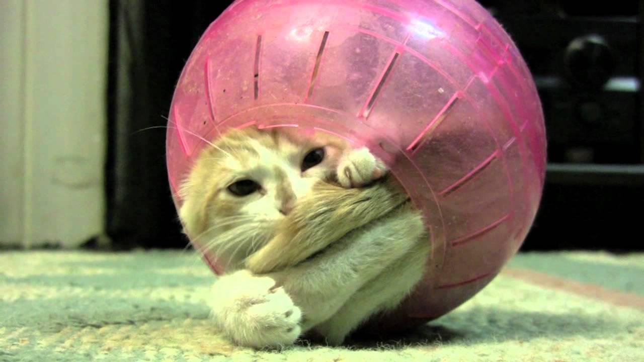 Kitten In Hamster Ball